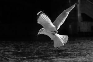 BW bird over Chicago River