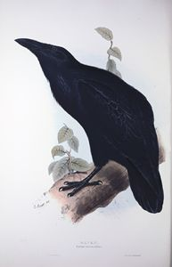 Raven - SPCHQ