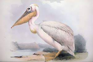 Pelican - SPCHQ