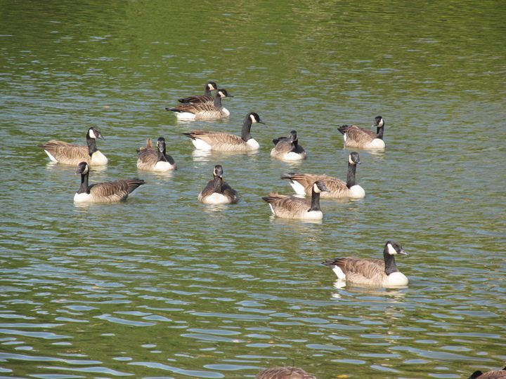 A gaggle of geese - G J Schulte