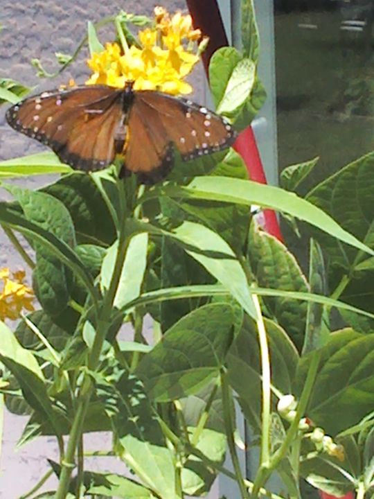 Milkweed fit for a Queen - G J Schulte