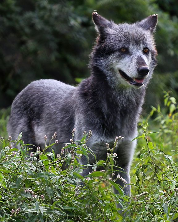 Gray Wolf I - Cantor Photography