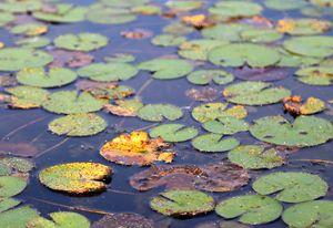 Fall Pond Lily
