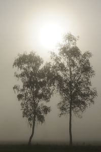 Twin trees in the mist