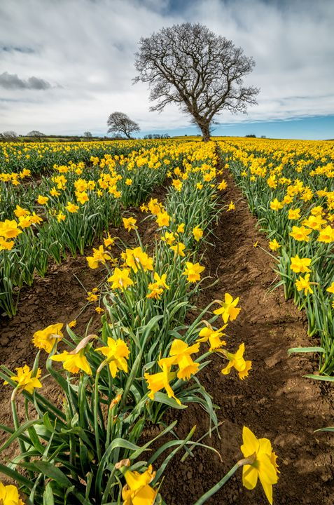 Rows of Daffodils - Adrian Evans Photography