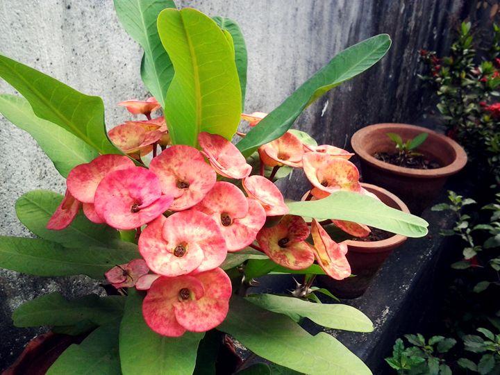 More Euphorbia - Weird Cookie