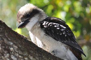 """""""Australian Kookaburra"""" - artforsalercbenson.com"""