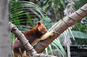 """""""Australian Tree Kangaroo"""""""