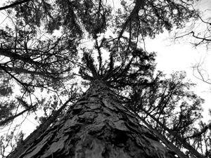 Soaring Pine