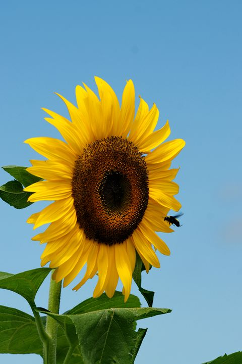 Sunflower and Bee - Ad Astra Images