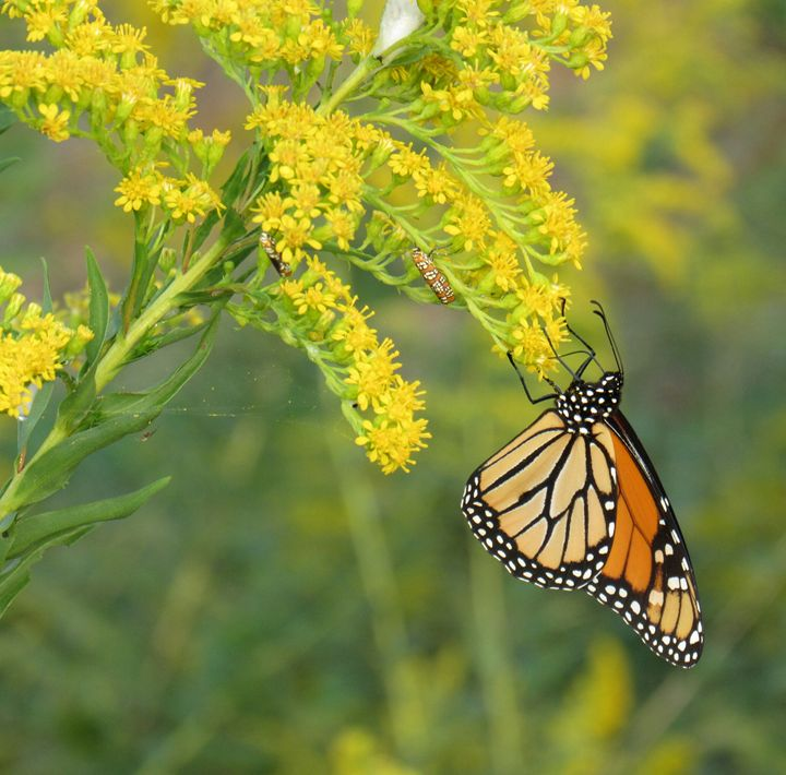 The beauty of a Monarch - Tonia Delozier's Photography
