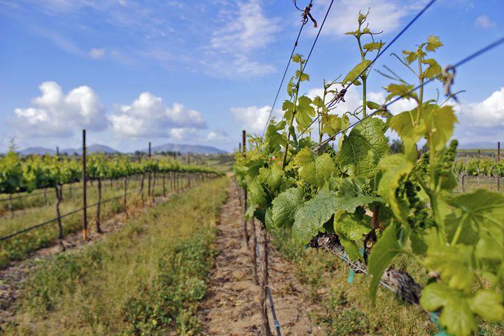 Grape Vines - Nick Melesko Photography