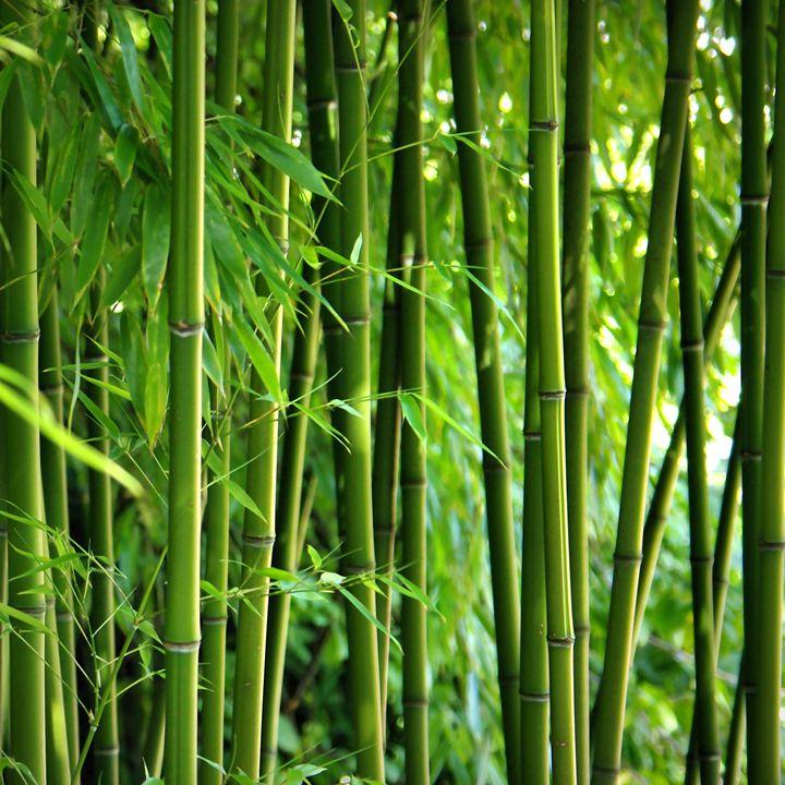 Bamboo - Gabi Siebenhuehner