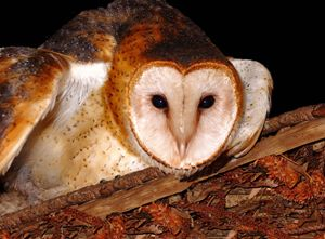 Barn Owl -Photograph