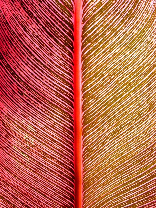 Red Banana Leaf -Photograph - Michele Aguilar