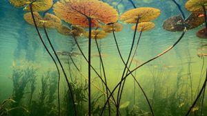 Water Lilies Botswana Africa
