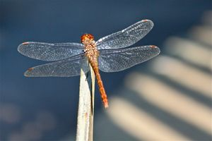 North Fork Dragonfly