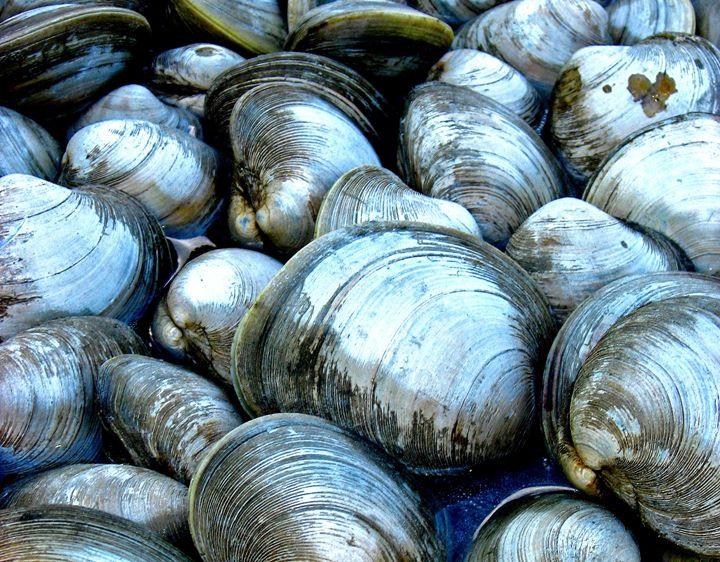 North Fork Clam Shells -  Solshinestudio