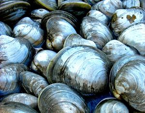 North Fork Clam Shells