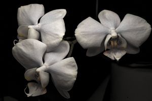 flower an orquidée