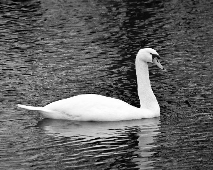 Beautiful swan - Mandi May photography