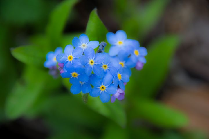 Forget me not - Mandi May photography