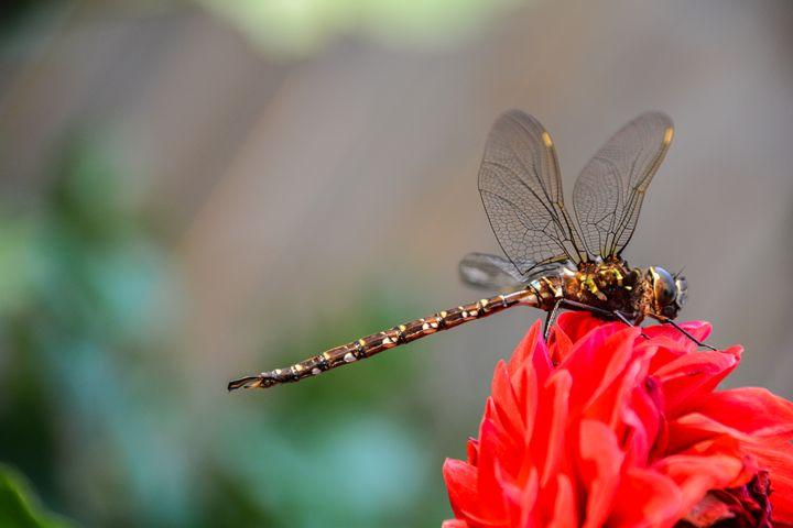 Dragonfly - Mandi May photography