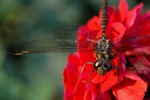 dragonfly on Dahlia - Mandi May photography