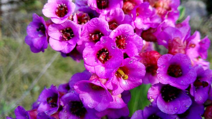 purple flowers - Jana ART