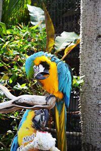 San Diego Parrot
