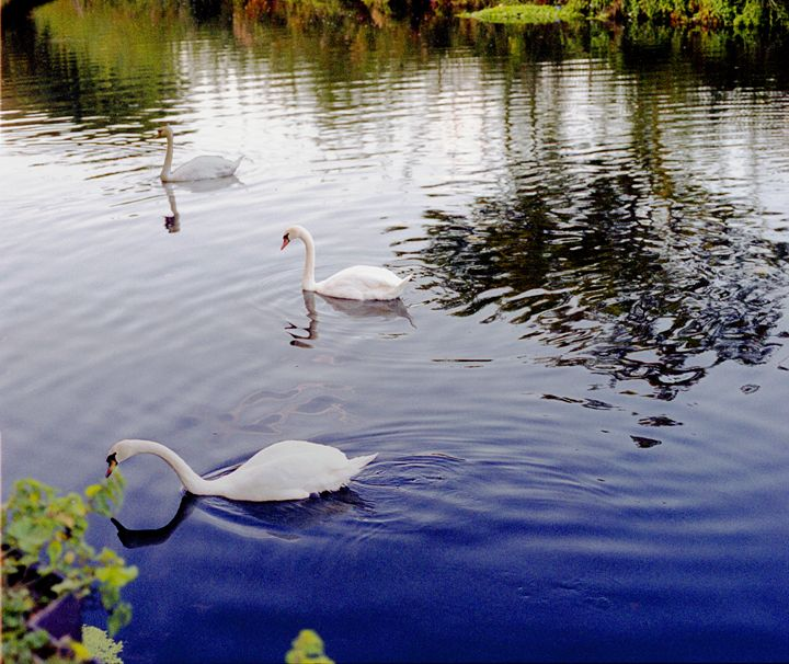 A group of 3 Swan's in colour - Envisual