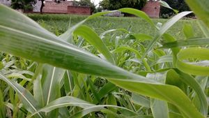 Indian Pearl millet And paddy field