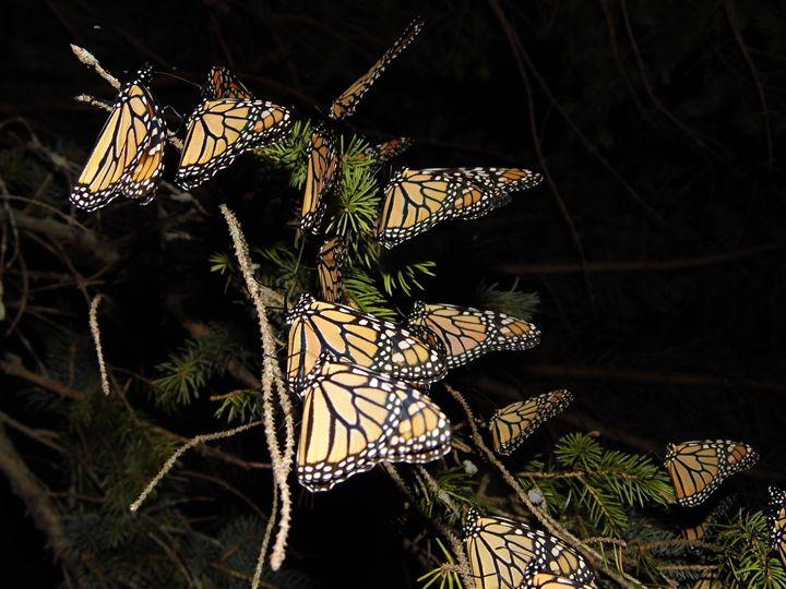Monarch group at night - Michigan's Natural Beauty