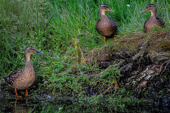 Three Little Ducks - Henry Harrison