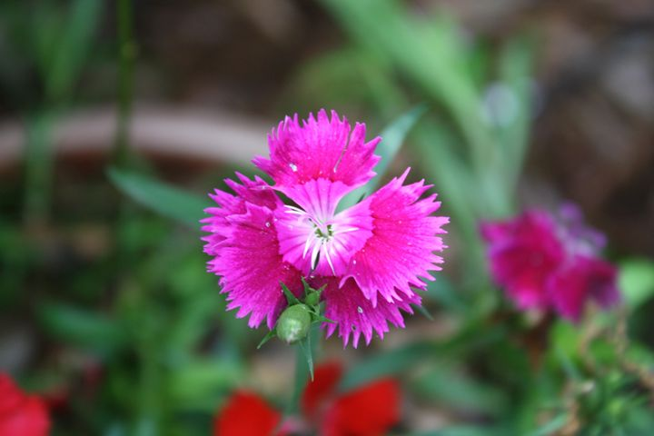 Sweet William - Mabe to Order