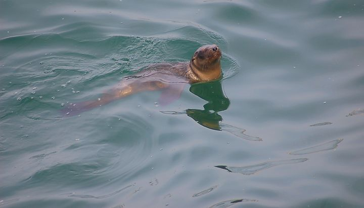 Swimming Seal - Photography by Shellee