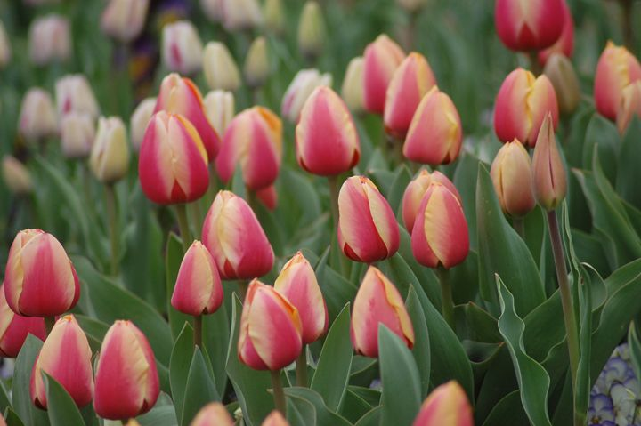Tulip Bunch - Photography by Shellee