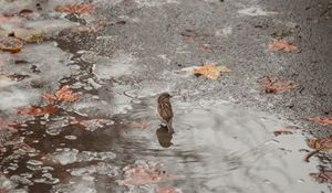 Sparrow and an Icy Puddle