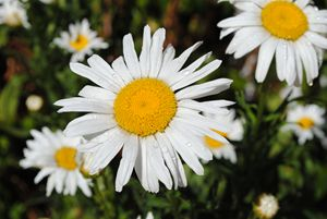 Daisys in the summer