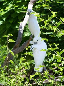 White Cockatiels - TiffanyWright