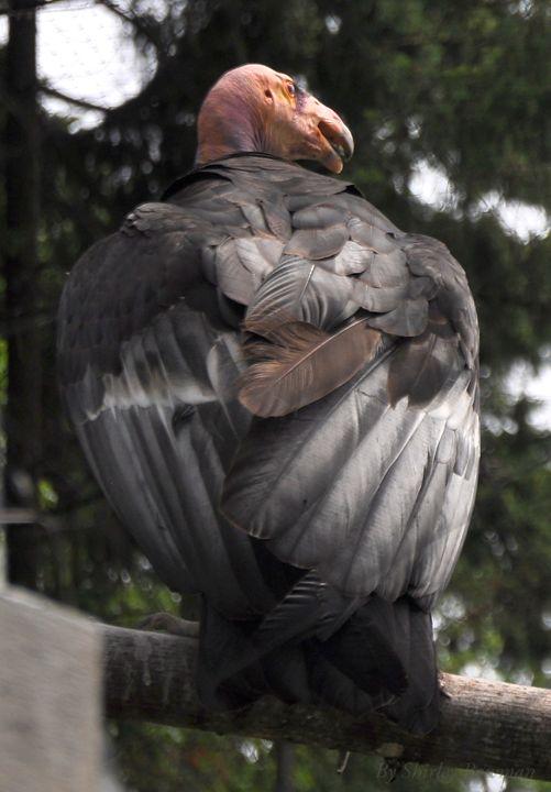 The Condor - Shirleypix Art & Photography
