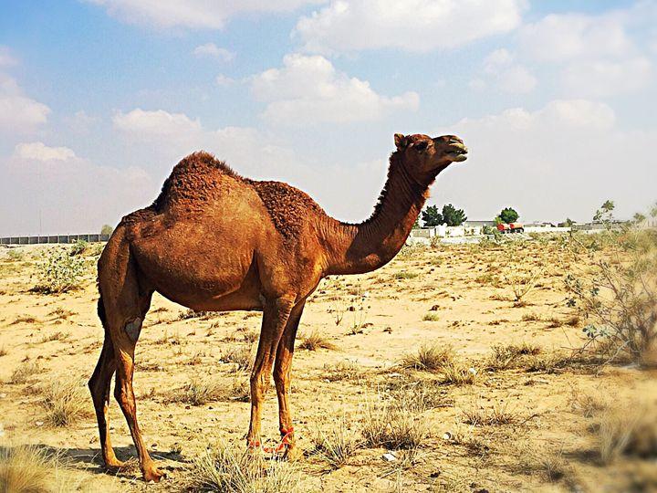 Camel - Abstract art