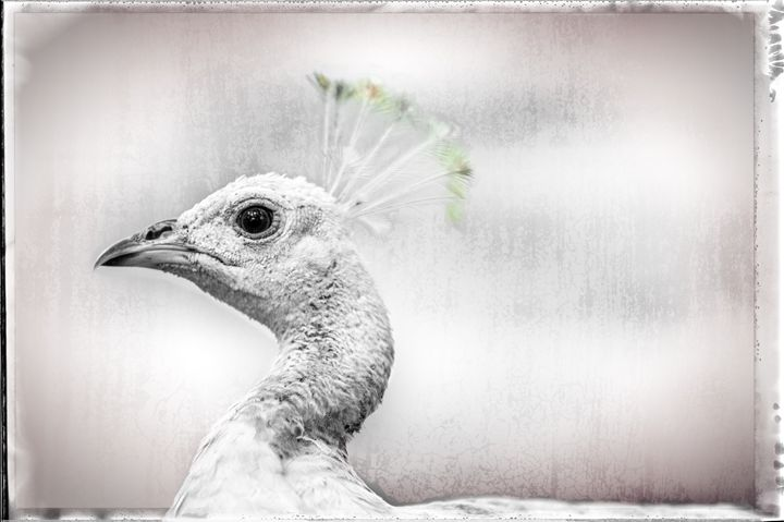 pinhead - bluzARTphotography