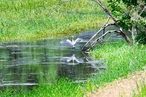 Blue Heron on the pond