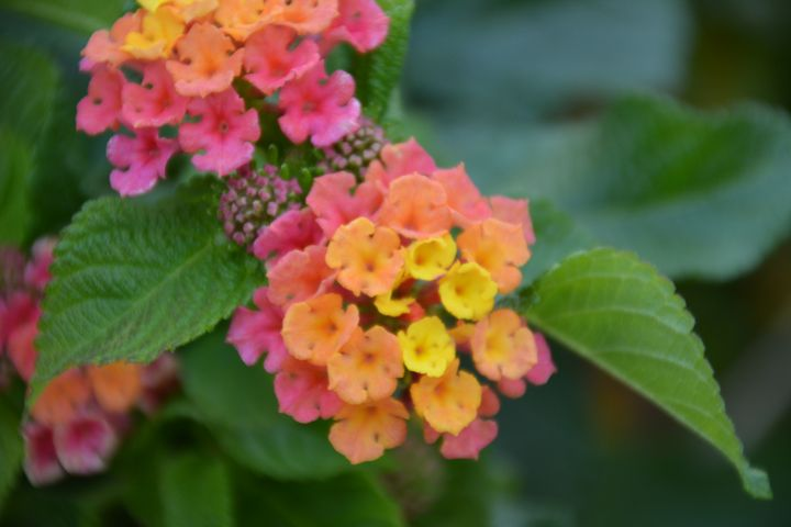 Lantana flower - Michelle Stern Photography