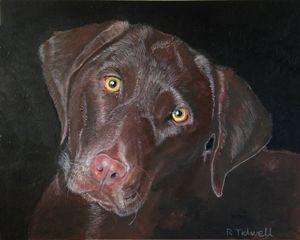 Inquisitive Chocolate Labrador