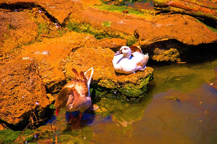 Ducks on the river bank - slavamalai