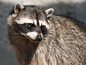 Raccoon - Michael K Photography