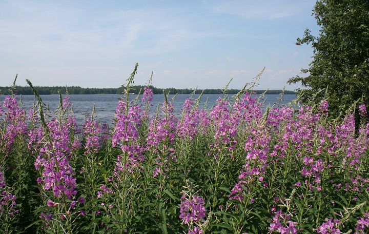 Fireweed Beach - Art KalleCat