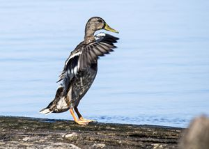 Bathing Duck at Reelfoot